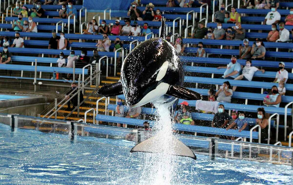 Orca whales jump from the water in front of sparse crowds as Seaworld entertains a limited amount of guests on July 30, 2020.