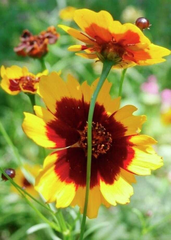 Plains coreopsis (Photo provided/McLean Nature Preserve)
