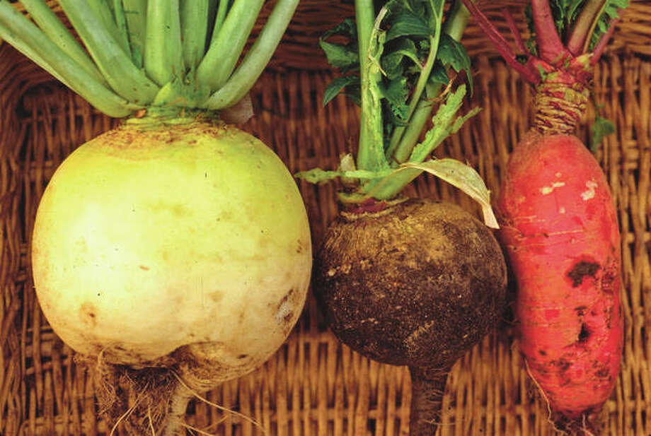 Winter radishes come in a variety of shapes, sizes and colors, and all are tasty treats that can be enjoyed in salads, as pickles, and other ways all through winter.