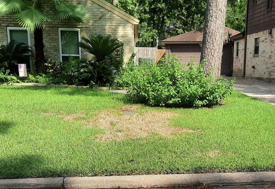 Large brown patches are a certain cue that the yard is infested with sod webworms. Early treatment can save the grass, but if not done at the onset, a resident could lose their entire yard. Photo: Submitted