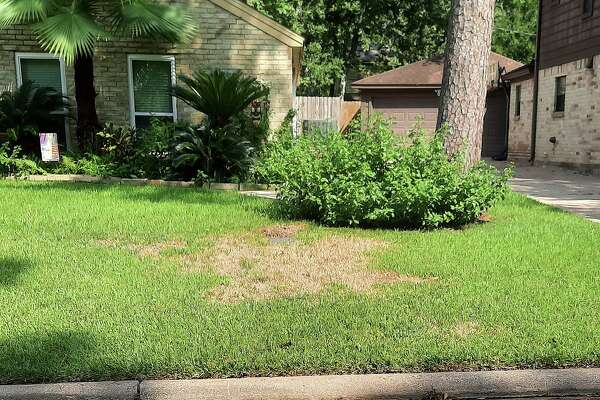 Large brown patches are a certain cue that the yard is infested with sod webworms. Early treatment can save the grass, but if not done at the onset, a resident could lose their entire yard.