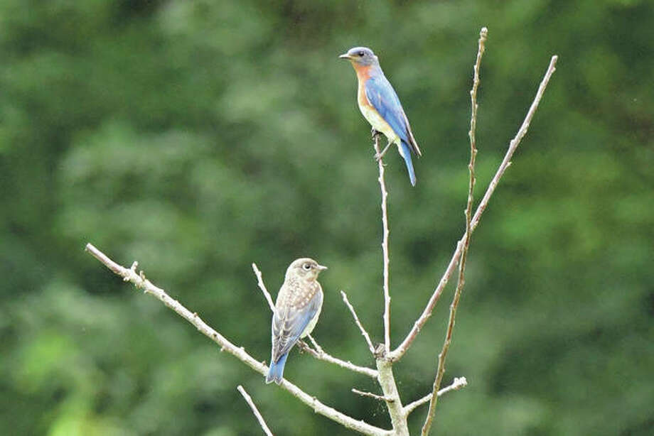 Bluebirds spend time together on the branch of a tree.