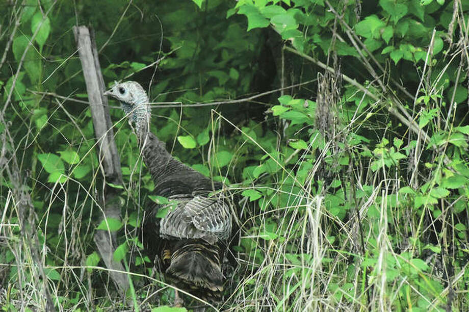 A turkey makes its way through a wooded area.