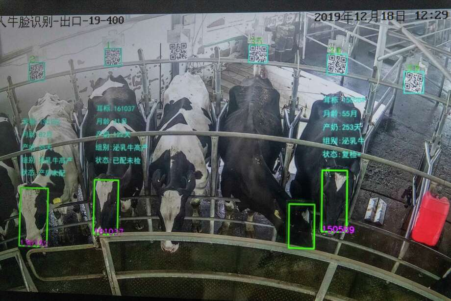 A live feed of cows being milked at Xiongdi cow farm. Data include ear tag number, age in months, number of days milking, and breeding status. Photo: Photo For The Washington Post By Gilles Sabrié. / Gilles Sabrie