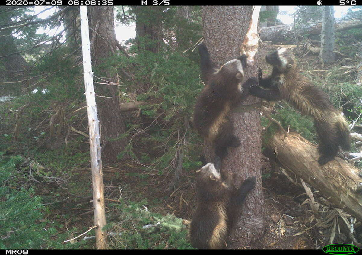 Wolverine Family at Mount Rainier National Park.