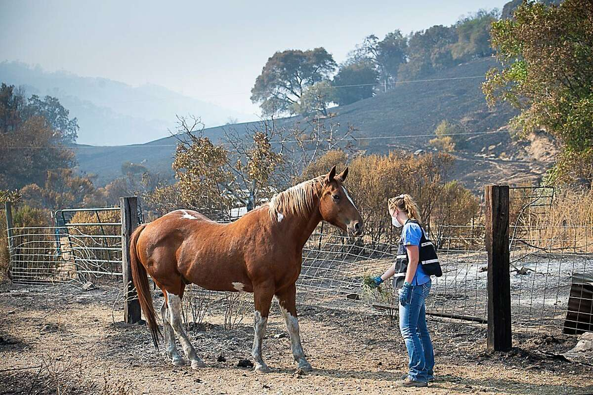 UC Davis School of Veterinary Medicine clinicians and staff have been out in the field providing treatment to displaced animals at evacuation centers in response to the LNU Lightning Complex fires.