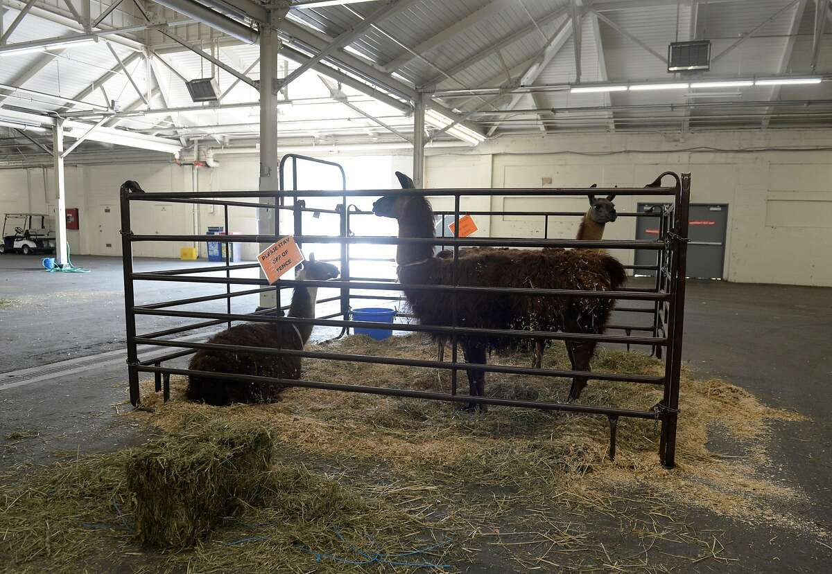 Llamas are some of the many animals needing temporary shelter and care at Cow Palace in Daly City, Calif., as wildfires continue to rage in the Bay Area on August 24, 2020. The Cow Palace Arena and Event Center began taking livestock and horses displaced by the wildfires on Friday, a major effort coordinated by the San Mateo County Large Animal Evacuation Group.