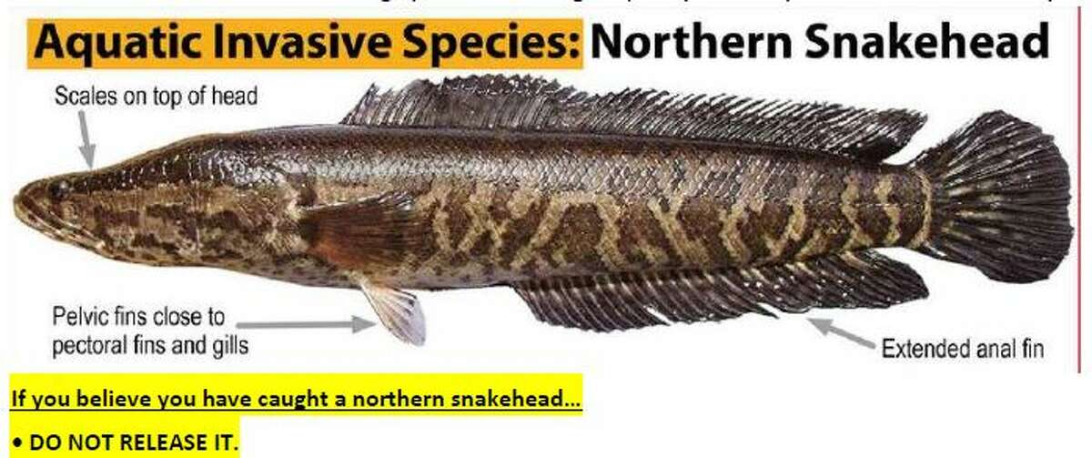 Wildlife experts are urging people to report any sightings of Northern Snakehead fish and to not put them back in the water if caught.
