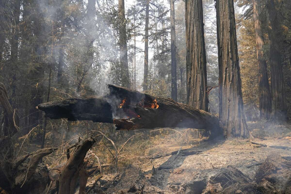 A fallen redwood tree continues to burn Monday, Aug. 24, 2020, in Big Basin Redwoods State Park, Calif. The CZU Lightning Complex wildfire tore through the park but most of the redwoods, some as old as 2,000 years, were still standing.
