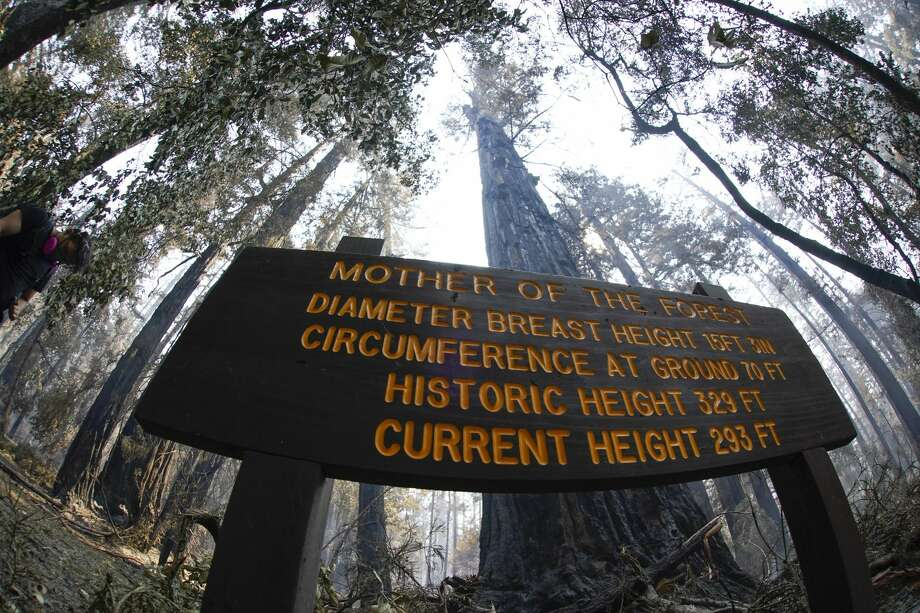 "An old-growth redwood tree named ""Mother of the Forest"" is still standing in Big Basin Redwoods State Park, Calif., Monday, Aug. 24, 2020. The CZU Lightning Complex wildfire tore through the park but most of the redwoods, some as old as 2,000 years, were still standing. Photo: Marcio Jose Sanchez/Associated Press / Copyright 2020 The Associated Press. All rights reserved."