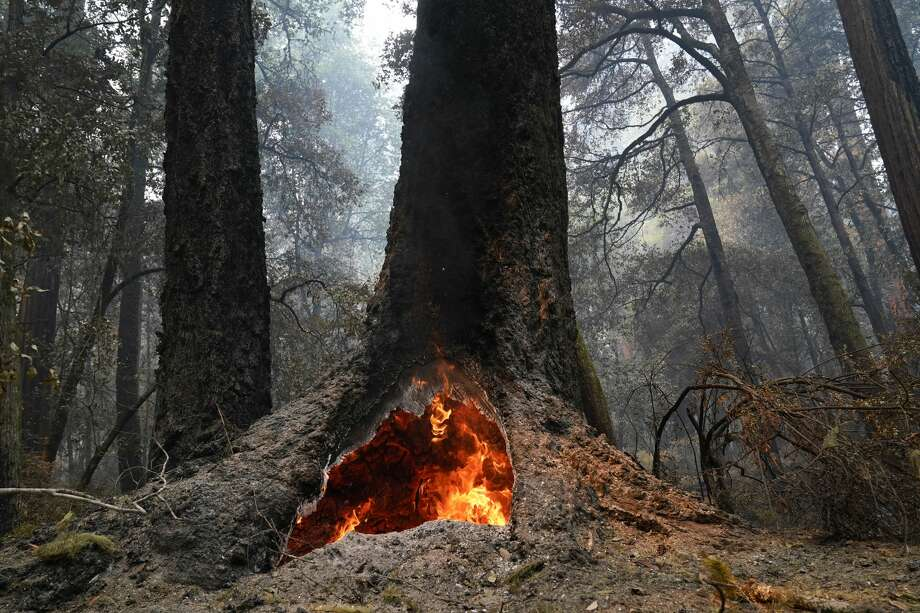 Fire burns in the hollow of a Douglas fir tree in Big Basin Redwoods State Park, Calif., Monday, Aug. 24, 2020. The CZU Lightning Complex wildfire tore through the park but most of the redwoods, some as old as 2,000 years, were still standing. Photo: Marcio Jose Sanchez/Associated Press / Copyright 2020 The Associated Press. All rights reserved.