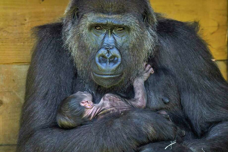 Nine-year-old Kala, a western lowland gorilla, cradles her 24-hour-old baby, which she gave birth to on Wednesday, in the Gorilla House at the Zoo Gardens in Bristol, England, Thursday Aug. 20, 2020. The new born gorilla joins a troop of six gorillas at the Zoo, which are part of a breeding program to help safeguard the future of western lowland gorillas of the Monte Alen National Park, Equatorial Guinea. (Ben Birchall/PA via AP) Photo: Ben Birchall / Associated Press / PA