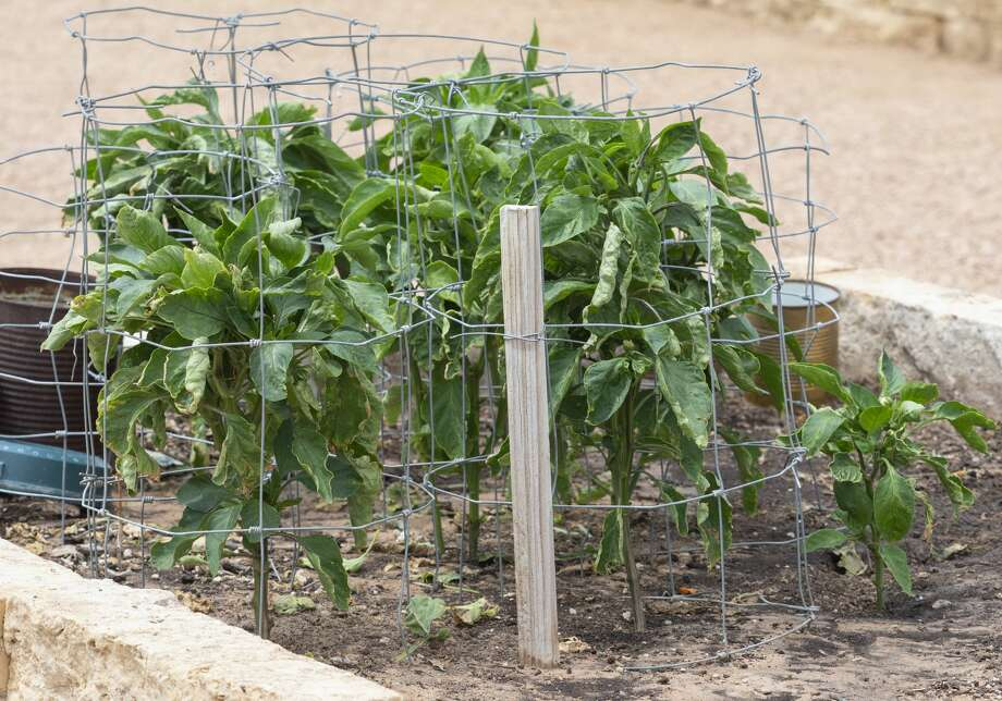 """Community gardens such as the one behind Midland Memorial Hospital West Campus provide a place for Midlanders to grow fruits and vegetables. Alldredge Gardens had """"lots of new gardeners this year,"""" retail manager Russell Johnson said. Photo: Tim Fischer/Midland Reporter-Telegram"""