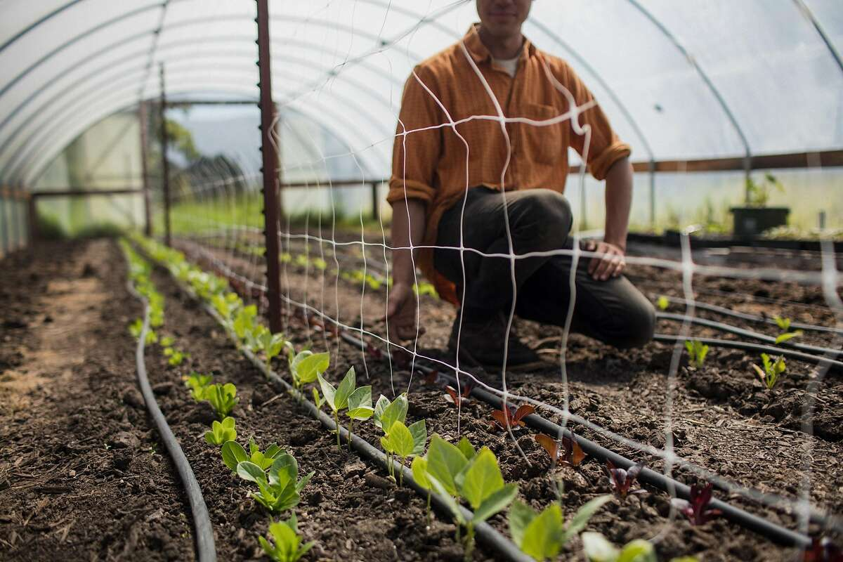Chang-Fleeman in one of Shao Shan Farm's hoop houses where he grows little gem lettuce, red noodle yard long beans, Sichuan radish, and red ping tung long eggplant in Bolias, Calif. on May 2, 2019.