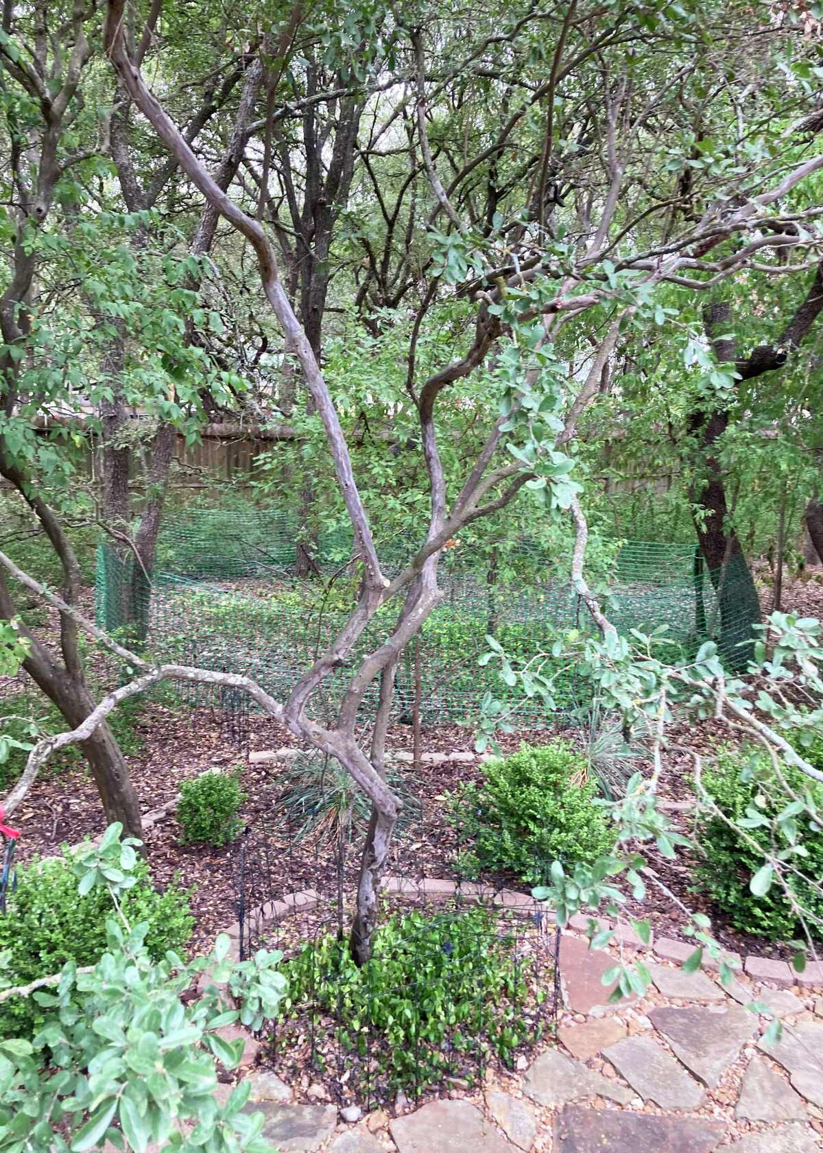 The Asian jasmine on the ground likely got too dry one time. It will probably bounce back.