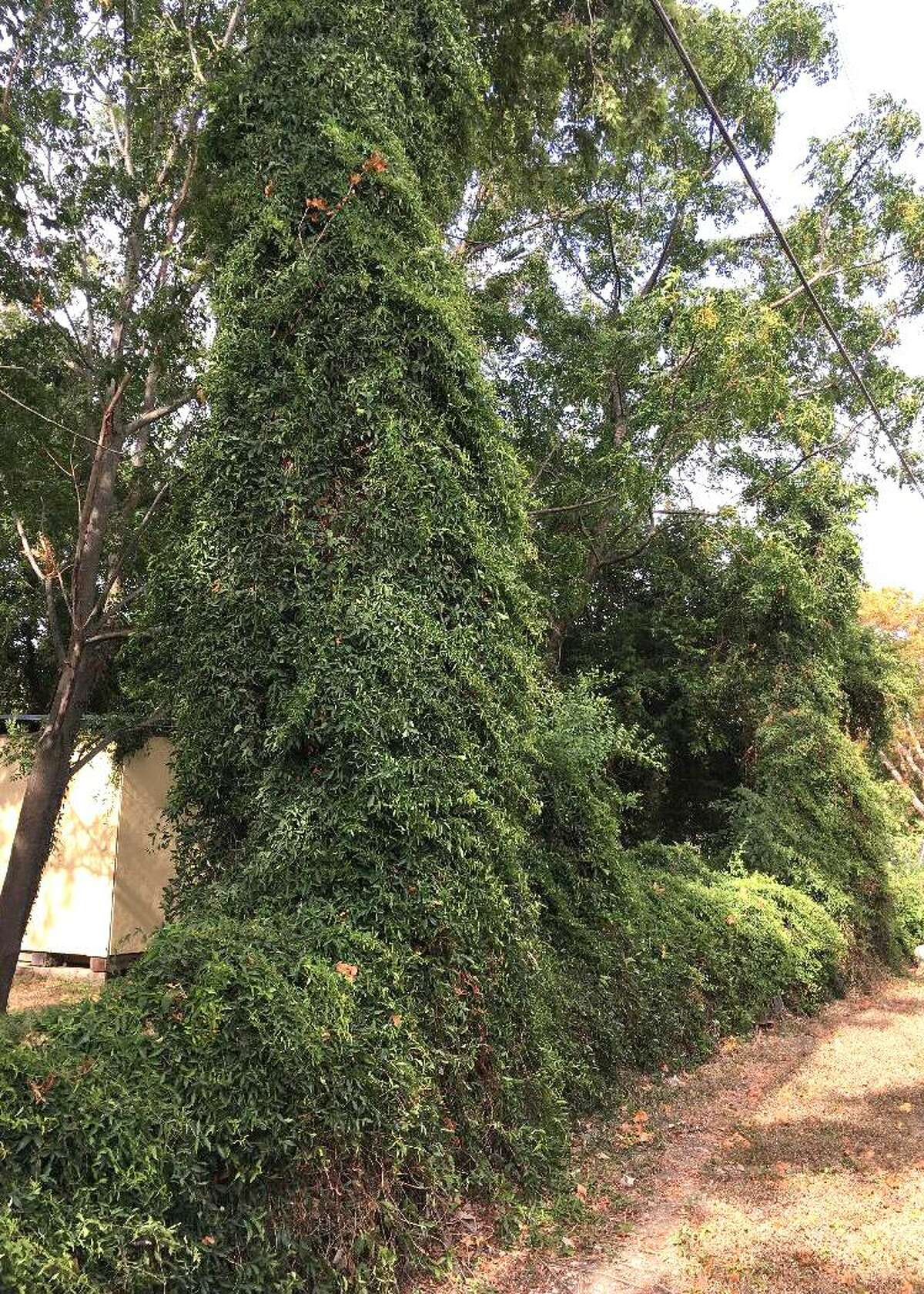 To deal with these overgrown vines, Neil Sperry suggests using a power brush cutter of some sort to trim the vines away one section at a time. Then trim a bit and then use a strong garden rake to pull the vines loose before trimming more.