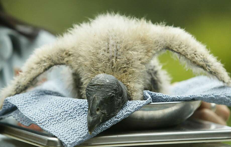 A male Andean Condor chick, a close cousin of the Californian condor, is weighed by a Taronga Zoo staff member in Sydney, Australia. Photo: Mark Metcalfe/Getty Images / 2006 Getty Images