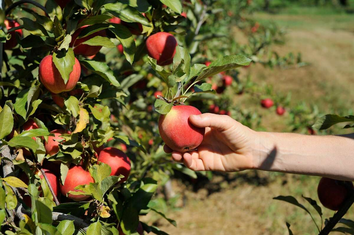 Tucked in Sedro-Wooley's neck of the woods, the orchard's U-pick season officially begins August 14. The farm divvies out more than 50 varieties of apples through October at $1.50/pound. While their farm store doles out plenty of goodies, they've opened up more space to adhere to COVID-19 guidelines via a covered outdoor space for checkout. They'll also offer two hand washing stations: one at the entrance and one at the barn, with hand sanitizer throughout the farm. Of course, face coverings are required throughout the farm and picking fields, even if you're alone!