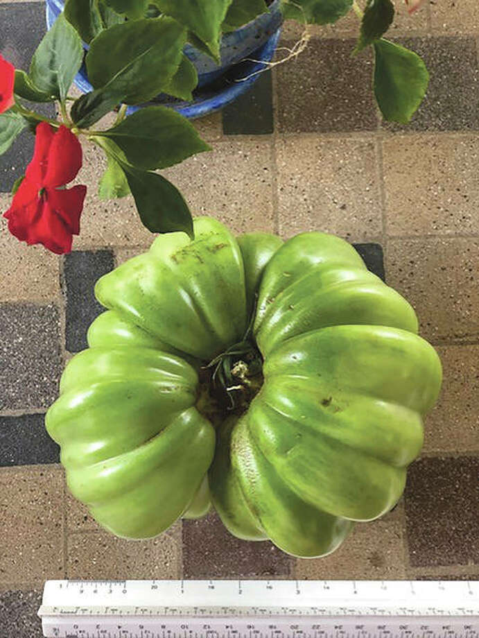 Reader Betty Oakes was surprised to see the size of this German queen tomato was a little more than 6 inches. Although it broke off of the branch while she was trying to lift it, she said she still plans to put it to use.
