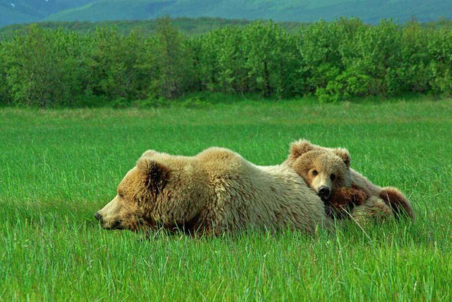 """A female grizzly with her about 2-year-old cub in Katmai National Park. The pilot/guide said the cub was about to be kicked out of the """"house."""" That's about the time mama is ready to breed again. (Photo by Cheryl McMahan)"""