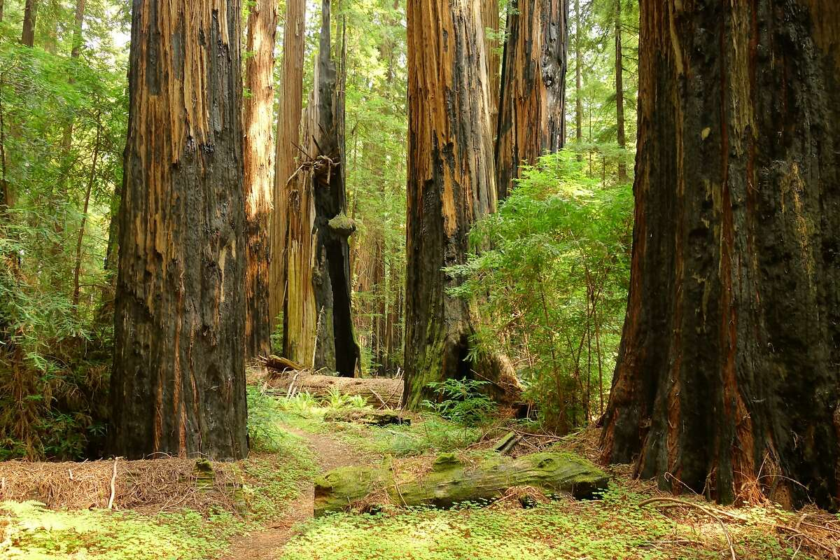 A trail through the Childrens Grove of old-growth redwoods after the recovery of the 2003 wildfire in Humboldt Redwoods State Park