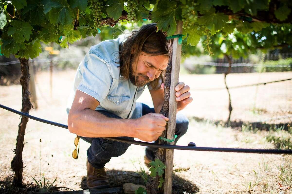 Noah Dorrance prunes vines at Reeve Wines in Healdsburg, California on June 29, 2017.