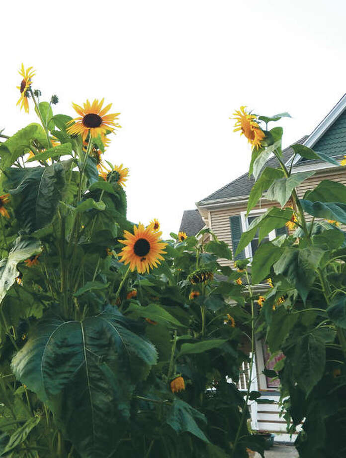 Sunflowers tower over the path leading to a house on West Lafayette Avenue between North Webster Avenue and Sandusky Street, their height easily dwarfing passing pedestrians. Depending on the variety, sunflowers can grow to be 14 feet tall or more.