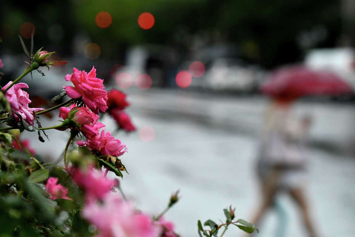 Raindrops collect on roses blooming along Broadway following a heavy downpour on Thursday, Aug. 21, 2020, in Saratoga Springs, N.Y. (Will Waldron/Times Union)