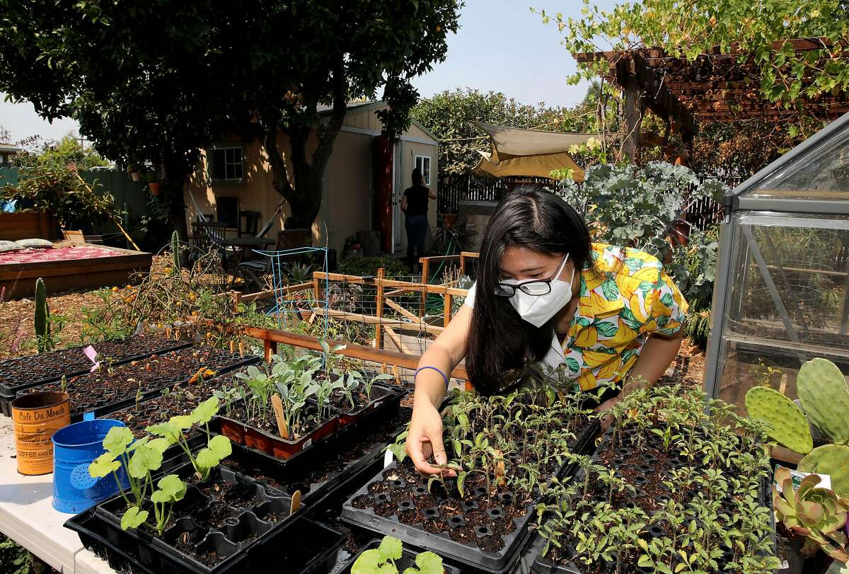 Linda Le plants zucchini and prunes tomatoes in Lil Milagro Henriquez's backyard on Saturday, August 22, 2020, in Oakland, Calif. Henriquez is the executive director of Mycelium Youth Network, a STEM education organization with focuses on climate and ancestral knowledge.