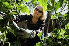 Cathy Rigl works in her garden at home on Thursday, Aug. 27, 2020, in Pleasanton, Calif. She worked as an independent contractor doing corporate training for Signature Worldwide. As a fun side job, she also worked a couple times a month at Wente Vineyards as an ambassador.  As she lost her jobs she was shocked to learn that her weekly unemployment payment would be $56 a week, based entirely on her winery W2 wages.