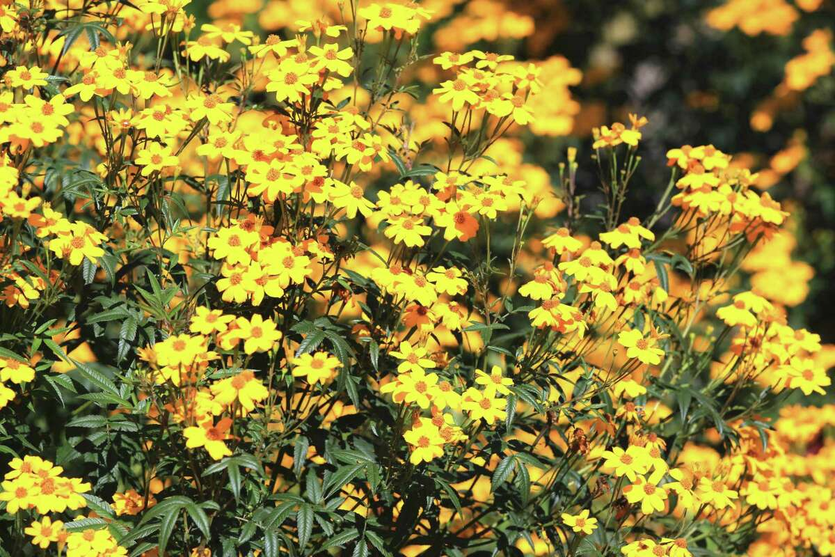 Copper Canyon daisies blooming in the garden in autumn