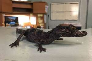 A spectacled caiman was found in Laredo and donated to the Laredo College Lamar Bruni Vergara Environmental Science Center Thursday.