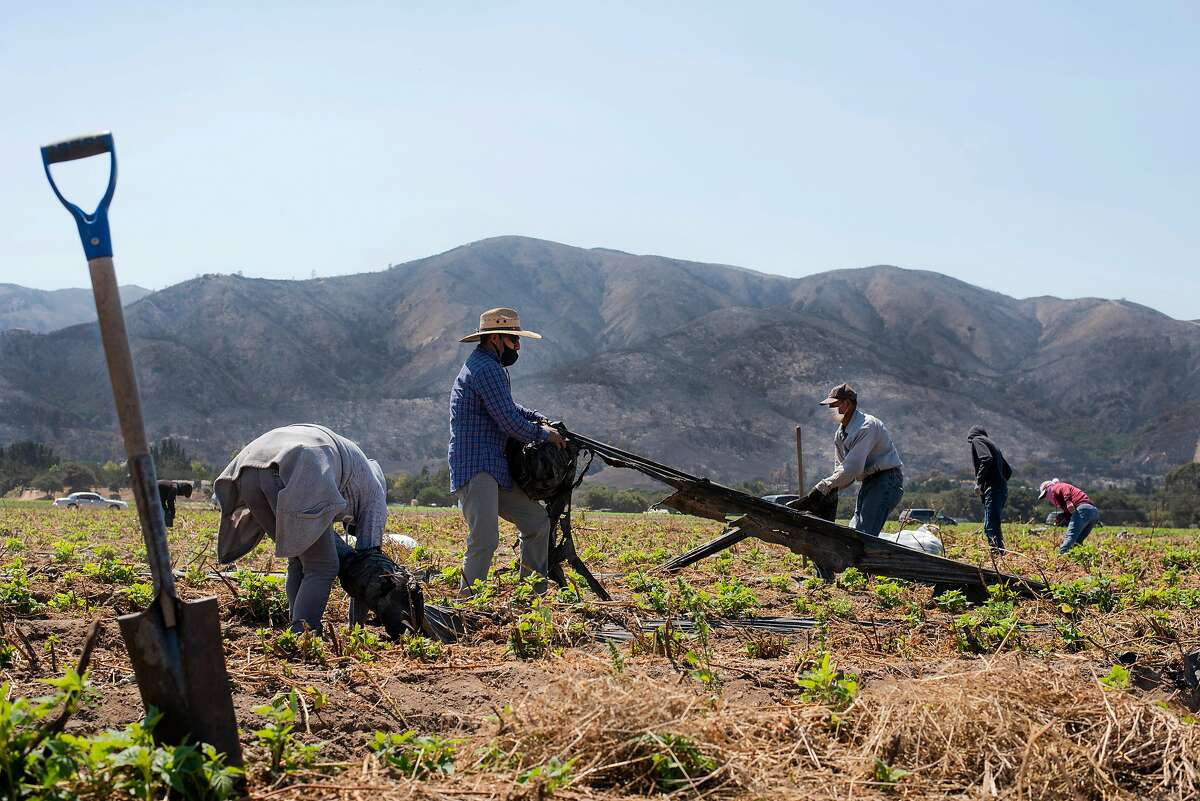 Masked workers pull tarps up from raspberry fields in Salinas in front of a burnt mountain on Aug. 25, 2020.