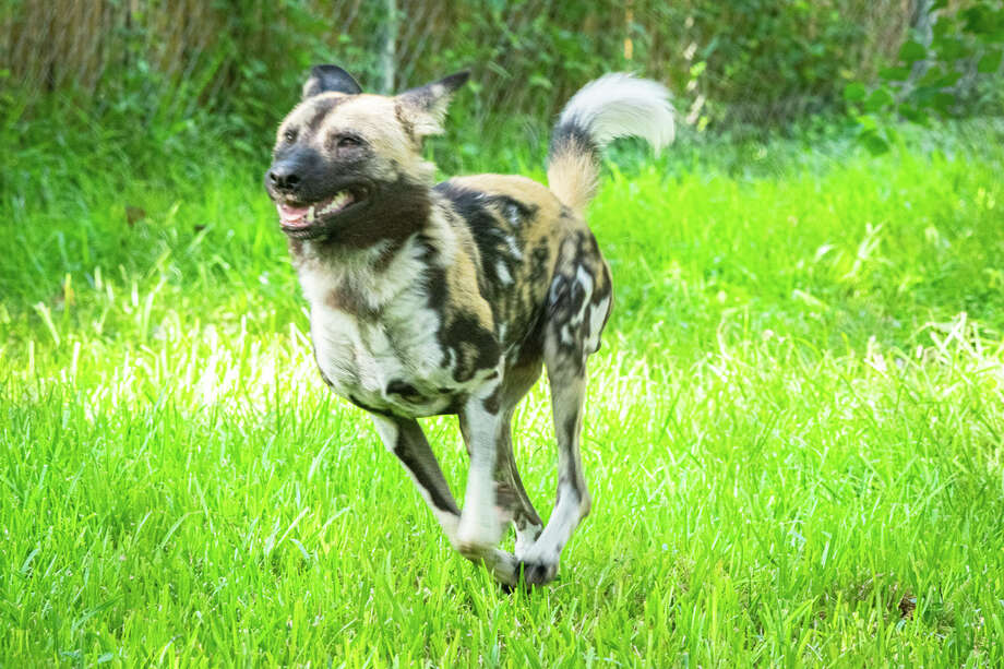 The Houston Zoo announced on Thursday that it has added a new animal to its fold, a pack of African Painted Dogs. Photo: Jackelin Reyna/Houston Zoo