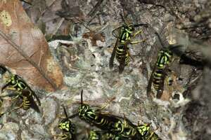 Disturbing an underground colony of southern yellow jackets, which can hold thousands of the aggressive, short-tempered, stinger-equipped insects, can be a painful and even life-threatening experience for those working outdoors during summer.