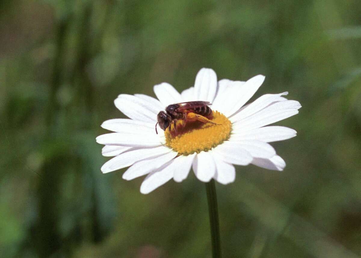 A yellow jacket stops on a daisy in Greenwich.