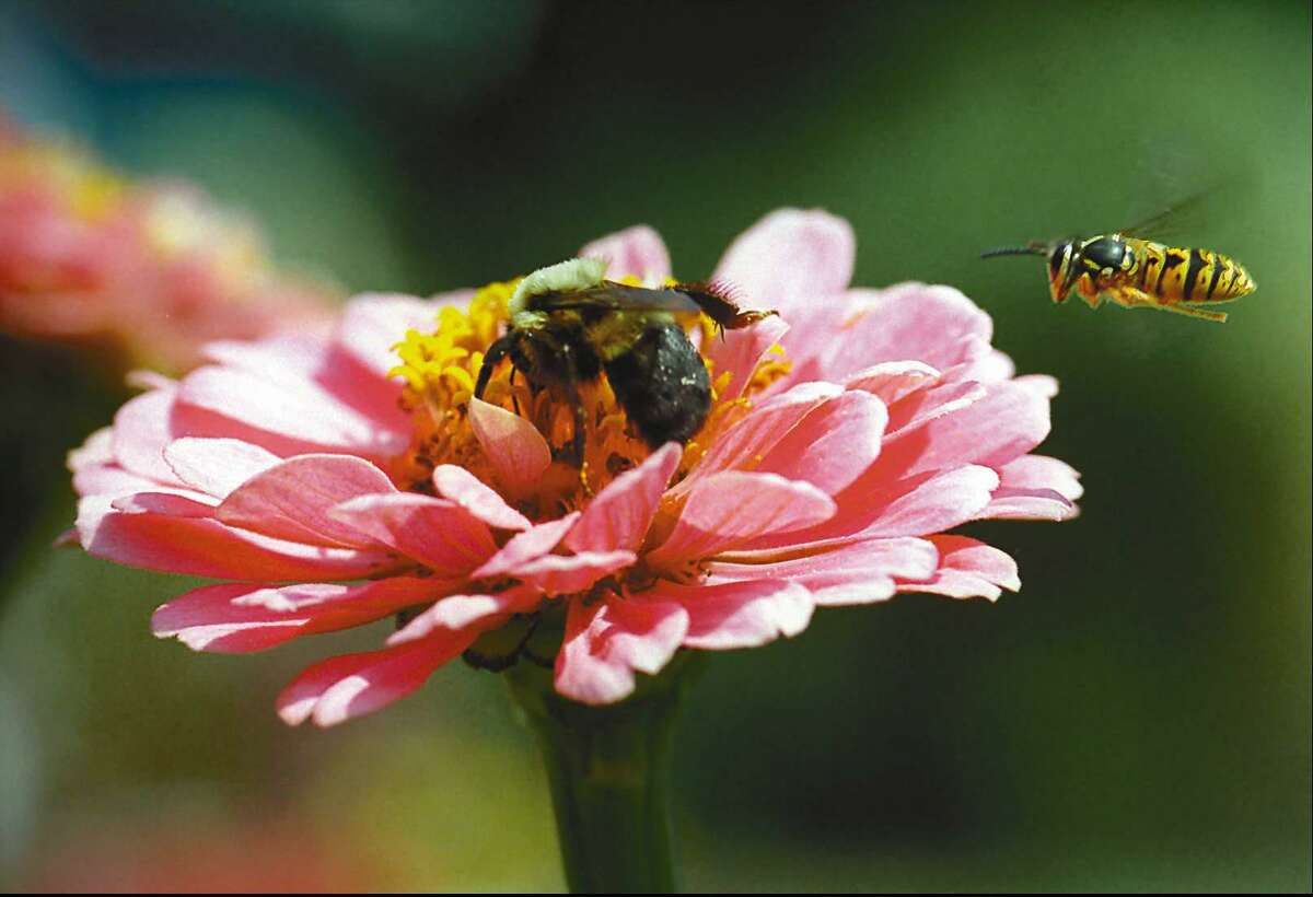 A honeybee pollinates a zinnia as a yellow jacket looks for a place to land in a garden.