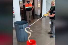 When the blistering Texas heat starts to intensify, expect snake sightings to be on the rise. Police in Manor, Texas made a surprising find when they stumbled upon a 3.5 foot diamondback rattlesnake and its 16 babies curled up in a work area? at the Sunstate Equipment on Highway 290 in Manor.