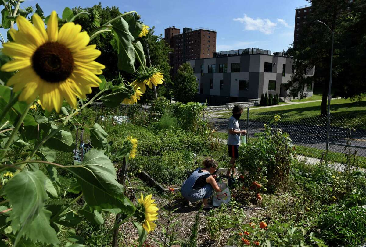 Kate Maunz, center, and Pete Hawkins, right, harvest vegetables from their plot in the Lincoln Park Community Garden on Friday, Aug. 28, 2020, in Albany, N.Y. (Will Waldron/Times Union)