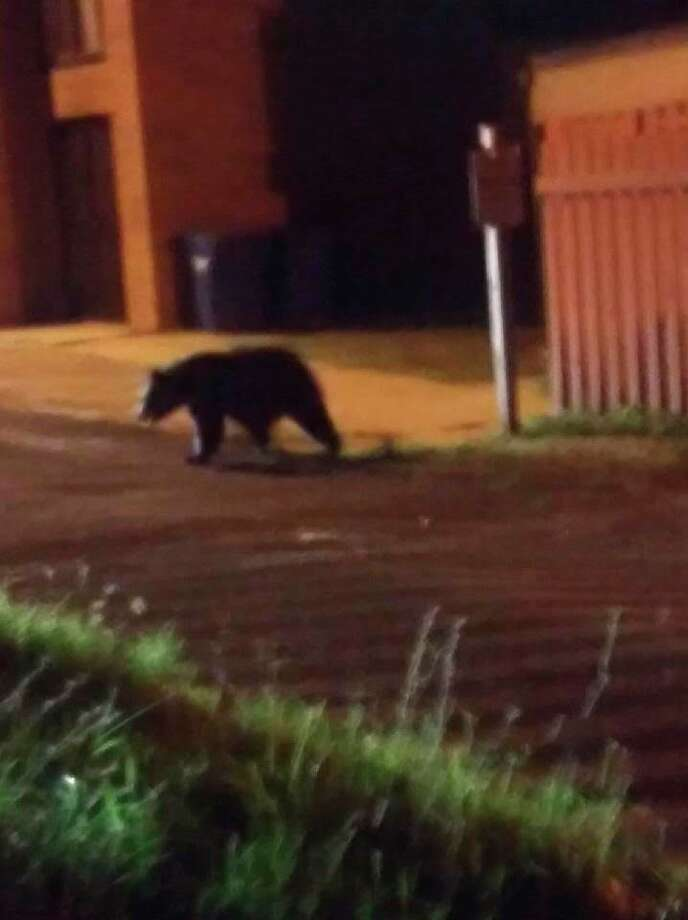 Bears found within city limits are more often than not just passing through, according to Rachel Leightner of the Michigan Department of Natural Resources. (Courtesy photo/Crystal Beach)