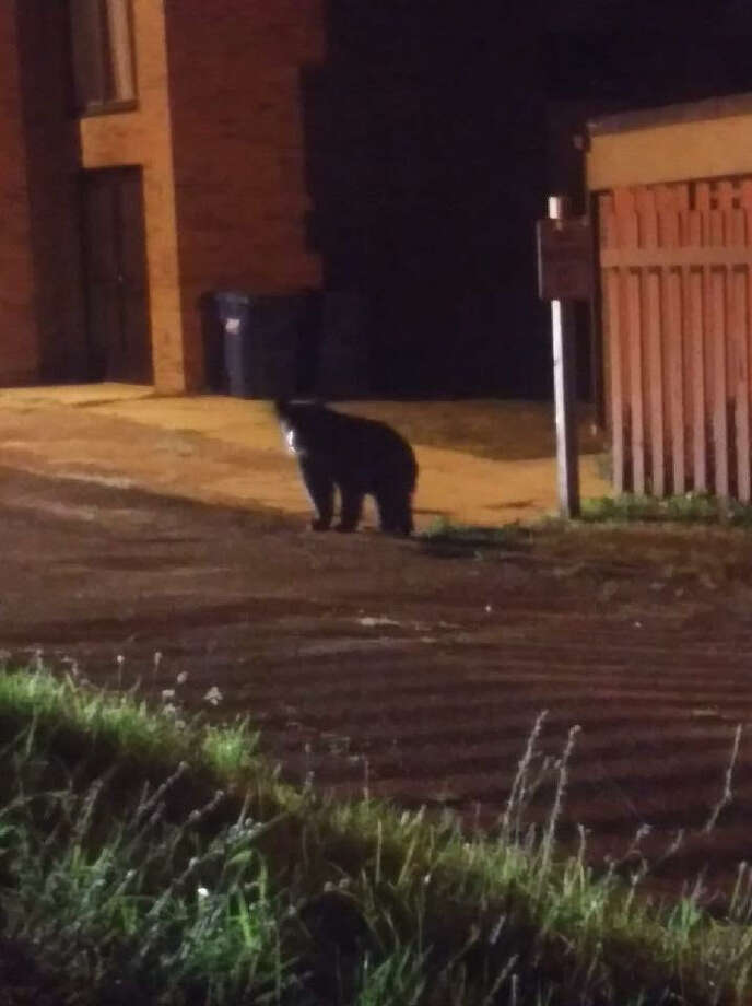 A black bear stands in the alley next to United Methodist Church. (Courtesy photo/Crystal Beach) Photo: Courtesy Photo/Crystal Beach