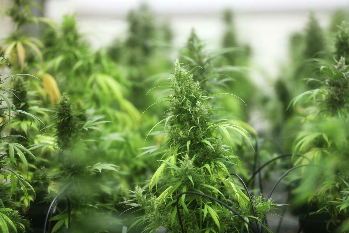 Texas hemp planting in its first year of legality is far below initial projections. Forecasts predicted as much as 10,000 acres would be cultivated, but no more than 4,000 acres are thought to actually have been planted.