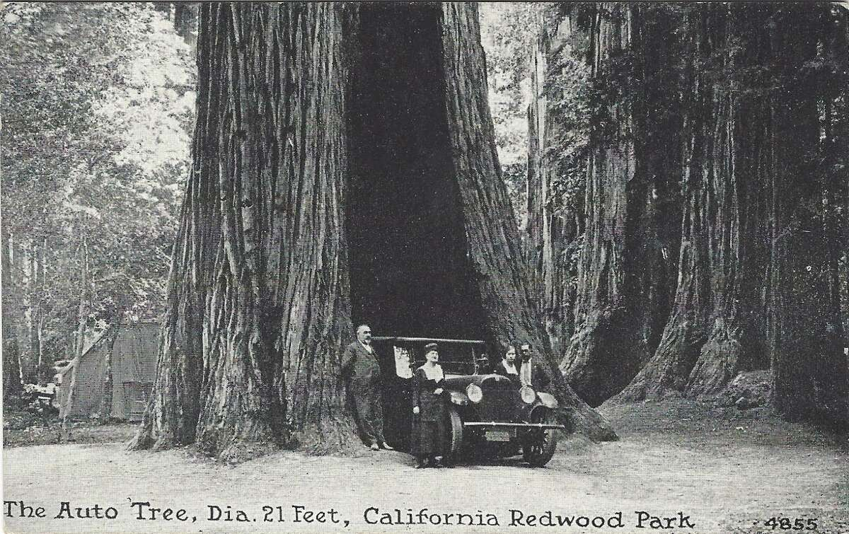 The Auto Tree at California Redwood Park, c. 1920.