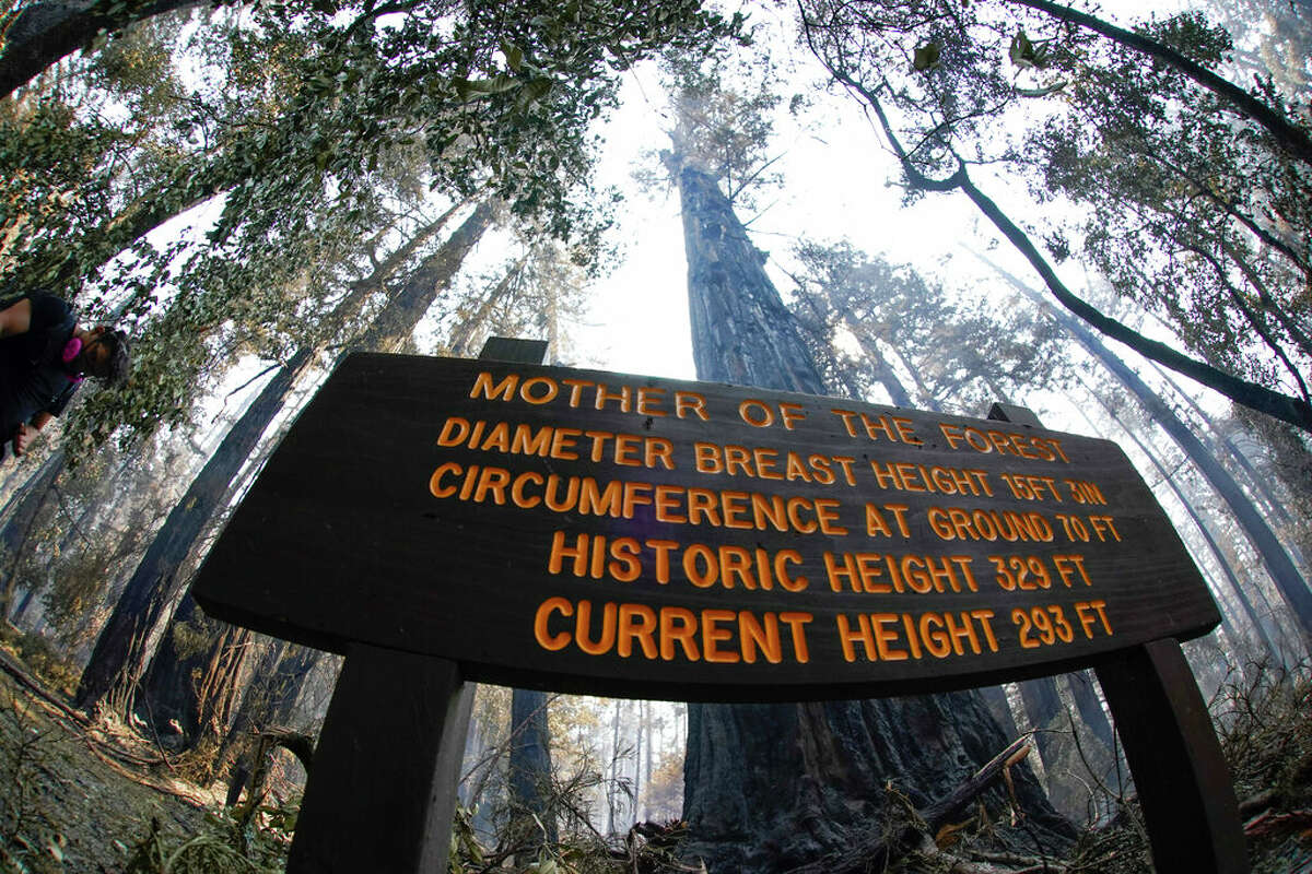 An old-growth redwood tree named