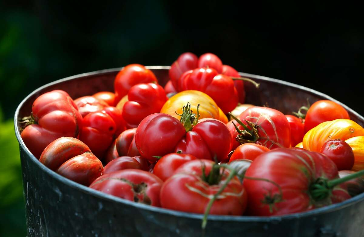 Tomatoes fresh off the vine are harvested from the Boon restaurant vegetable garden in Guerneville, Calif. on Saturday, Aug. 29, 2020. The town on the Russian River is gradually reopening after evacuation orders were lifted from the LNU Lightning Complex fires.