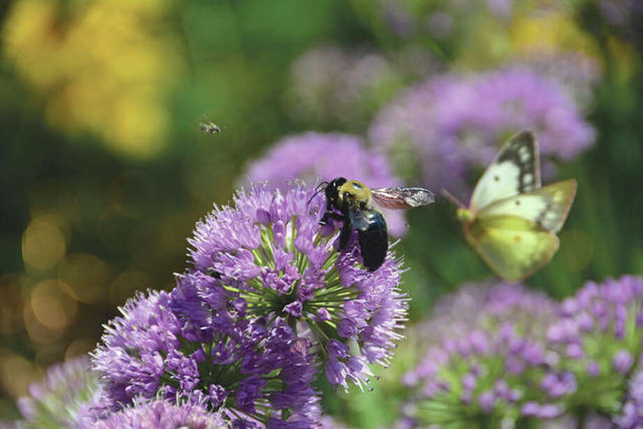 Bees and a butterfly flock to a plant in a field.