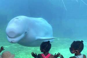 Mystic Aquarium is where you can meet New England's only beluga whales, one of which is seen here. There's also more than 300 species of other creatures.