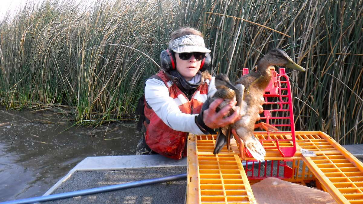 Caroline Brady, a biologist with the California Waterfowl Association, rescues two ducks at a time, afflicted with avian botulism, for transport to the region's Duck Hospital for treatment and recovery