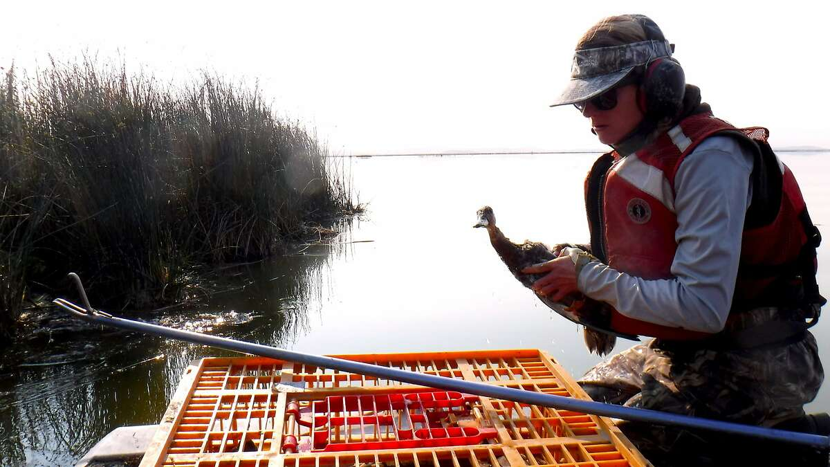 Caroline Brady, a biologist with the California Waterfowl Association, rescues a duck infected with avian botulism, for transport to the region's Duck Hospital for treatment and recovery