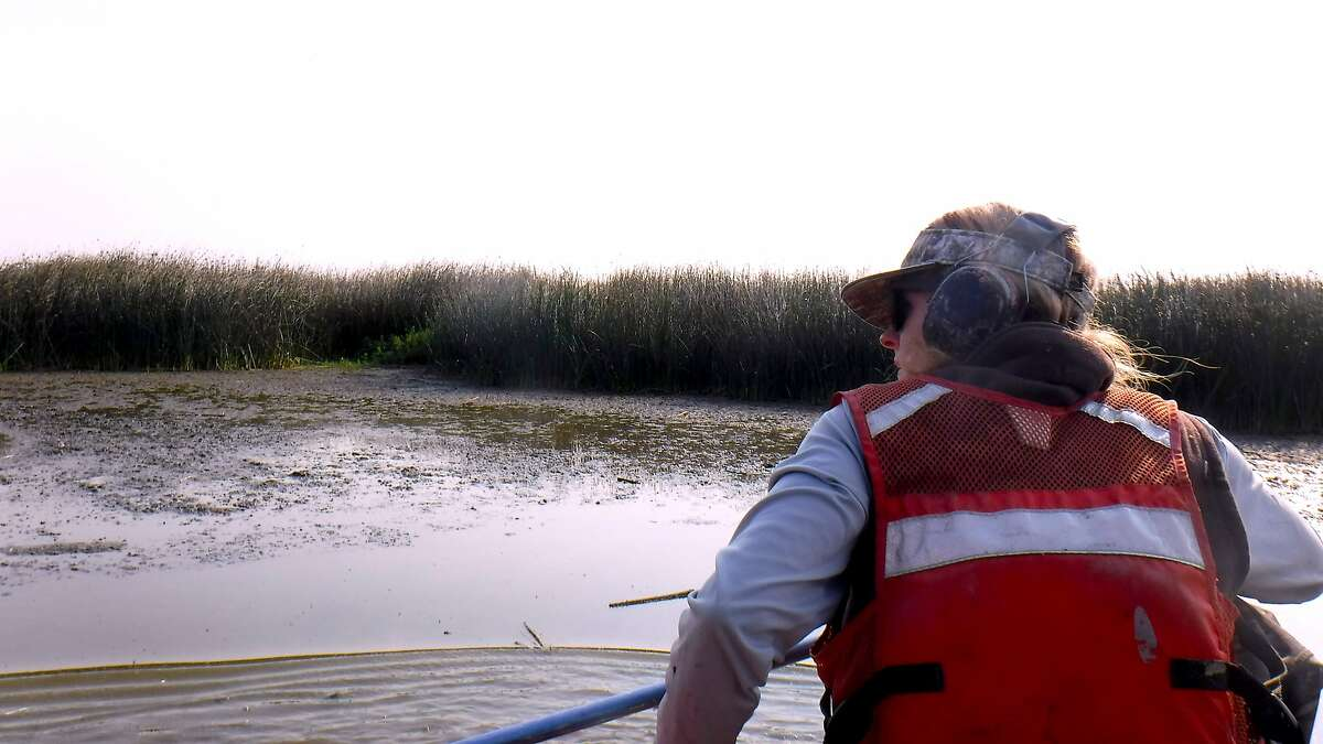 Caroline Brady, a biologist with the California Waterfowl Association, searches the flats, where receding water is compressing waterfowl into small areas, for sick sick with avian botolusim